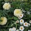 ブッドレア バズ & 夏の白い寄せ植え* no.1