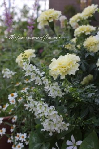 夏の白い寄せ植え* 秋の様子♪ no.3
