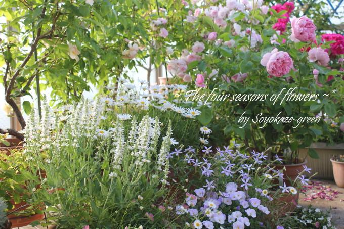 サルビア スペルバ ボルドーと春の花