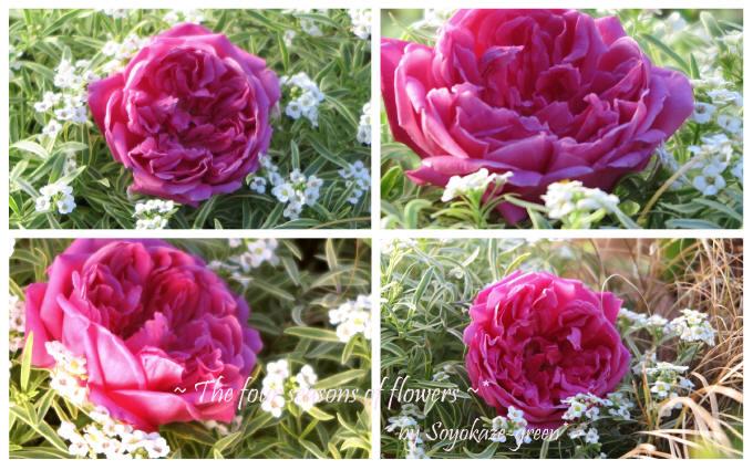 バラ ユジェーヌ イー マルリー 秋花を摘んで コラージュ写真