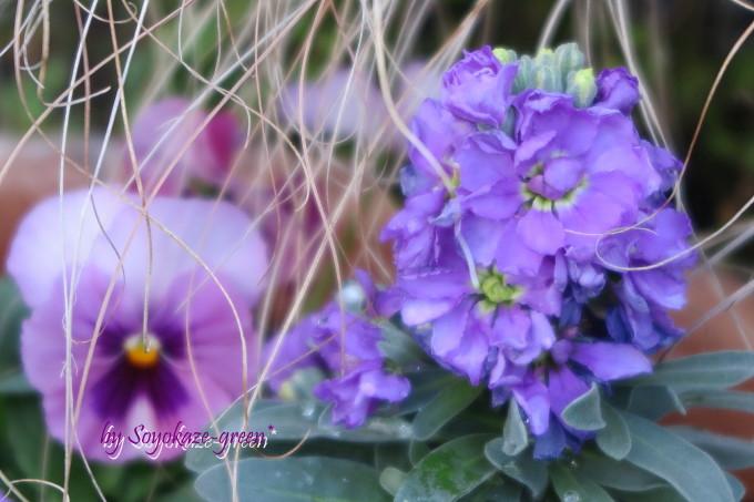 紫色のストック