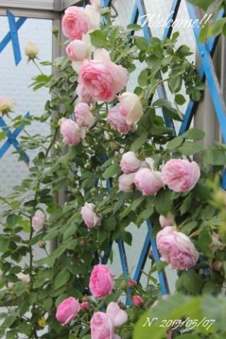 ピンクのバラたち*