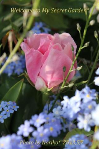 ヘルシューレン* 斑入り葉の珍しいバラ~♪