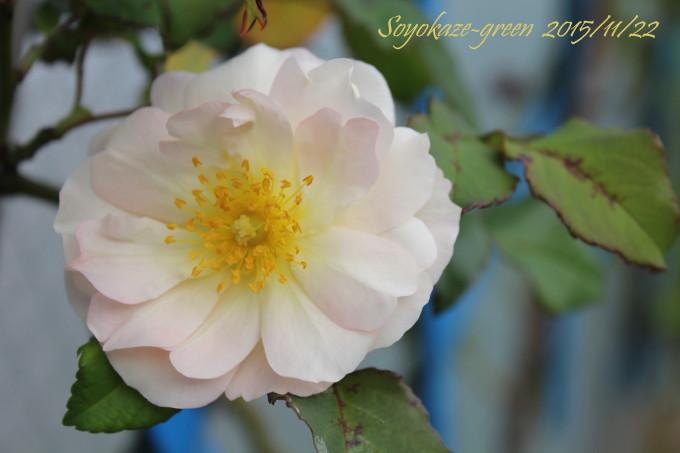 バラ ペネロープの秋花
