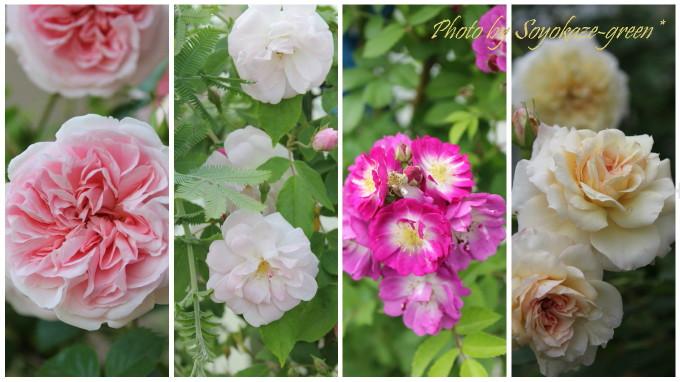 バラのコラージュ写真(マイ グラニー、シャンプニーズ ピンク クラスター、ペレニアル ブルー、