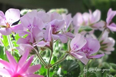 パンジーゼラニウム 五月山緑地都市緑化植物園(池田市緑のセンター)