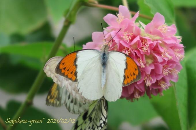 ドンベア・ウォリッキーと蝶