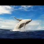 GoPro: Humpback Whale Breach – Mother & Calf