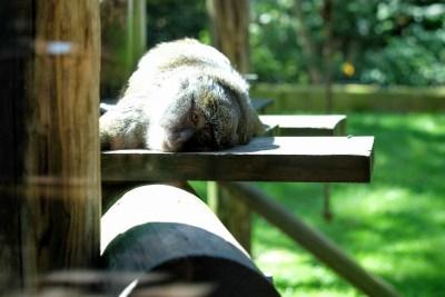 Toledo Zoo monkey