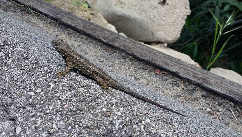 Hollywood Hike Lizard