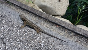 Hollywood Hike Lizard