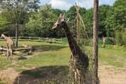 Leipzig Zoo old giraffe