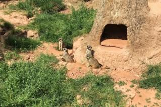 Leipzig Zoo meerkats