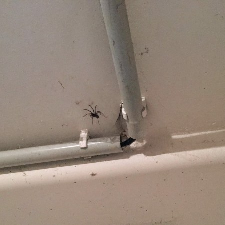 bugs Germany giant house spider