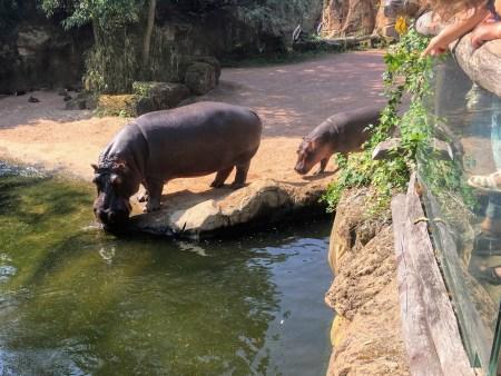 hippo Hannover Hanover Zoo