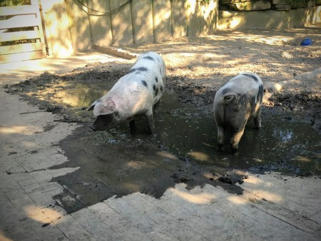 pigs Hannover Hanover Zoo