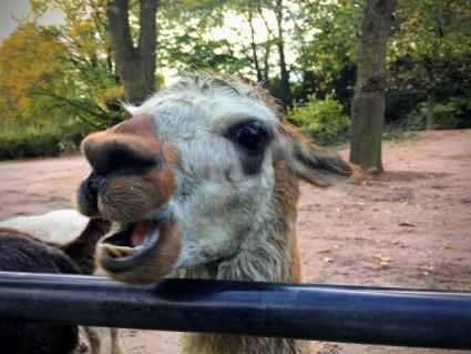 alpaca Tierpark Hagenbeck