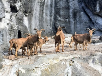 goats rams Tierpark Hagenbeck