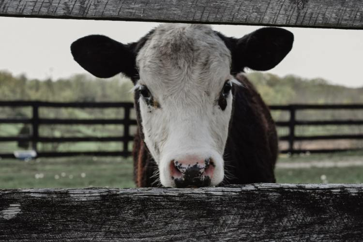 why i went vegan cute adult cow