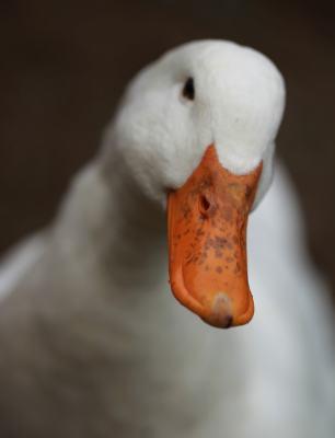 cute duck not food