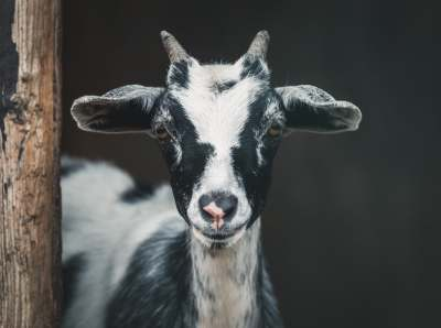 why i went vegan goat