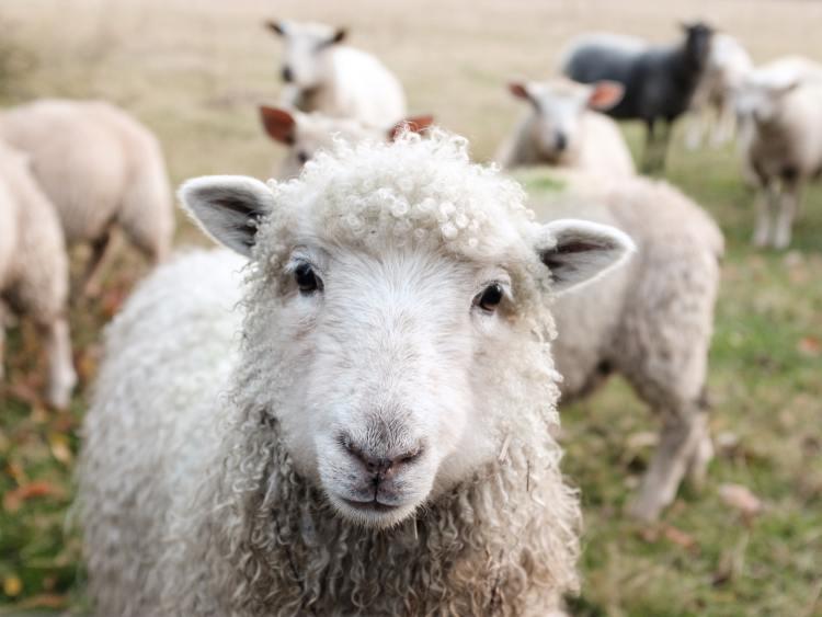 why i went vegan sheep