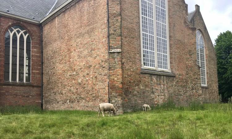 sheep The Hague