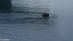 Seal spotted at Jökulsárlón