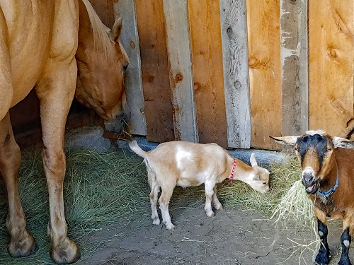 Nigerian Dwarf Goats and our horse Rio