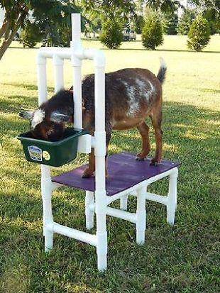 Nigerian Dwarf Goats: Excellent Milk