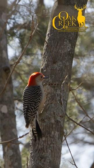 Red Bellied Woodpecker