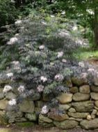 blacklace elderberry