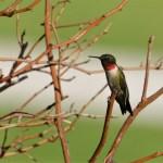 May 5 – Nature at Home: DIY Hummingbird Feeders