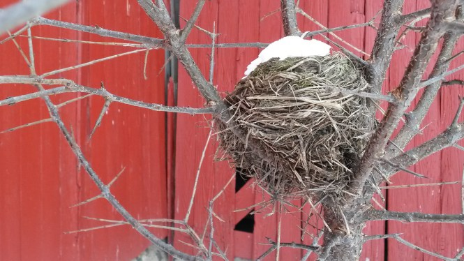 A re-purposed bird nest with a new roof is a perfect winter home for the white-footed mouse. Photo courtesy of Wendy Pellerito, Southeast Michigan Land Conservancy