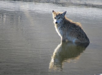 The coyote remained patient and watchful as 'the humans' worked in a rescue plan.
