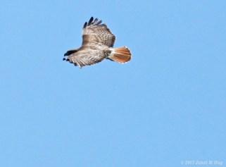 red tail soaring janet hug