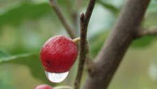 One red Autumn Olive Berry with a drop of dew on its bottom.
