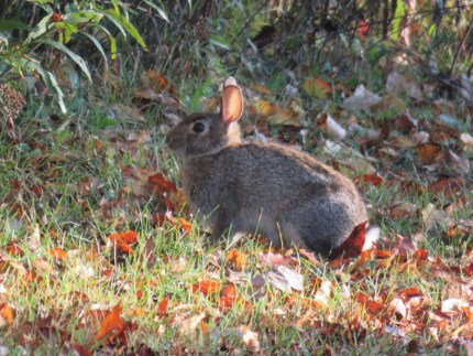 A rabbit stands still in a grassy area that is covered with brown and orange fallen leaves.