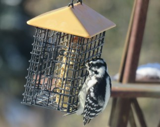 A Downy Woodpecker pecks at suet in a caged feeder with a yellow top.