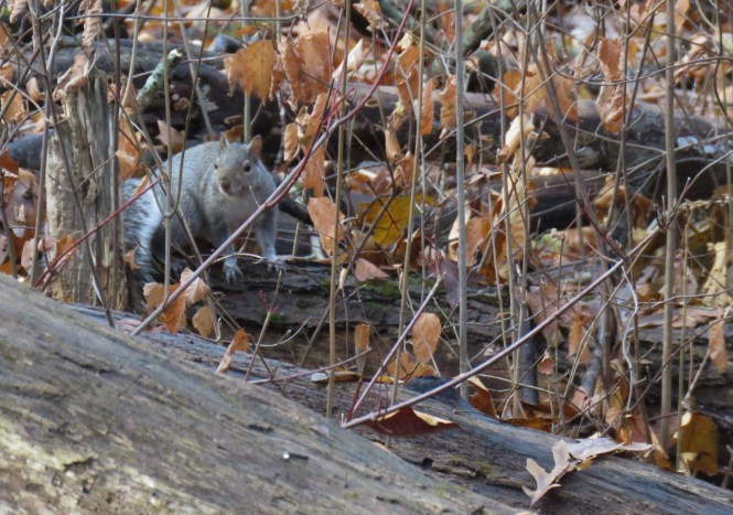 A light brown squirrel stands alert on a log, almost camouflaged by dried leaves and brush.
