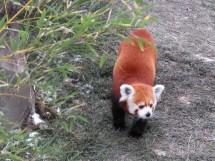 A red panda walking