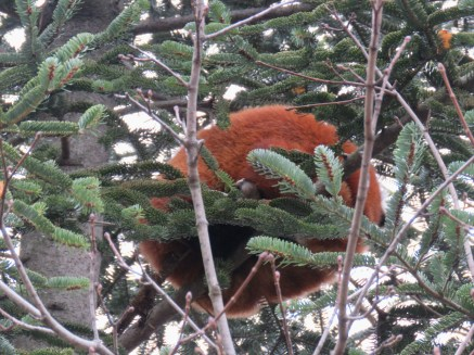 A red panda curled up in a ball in a pine tree.