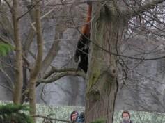 A red panda climbs headfirst down a tree