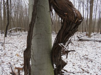 An enormous grapevine that seemed to be embracing the smooth bark of a beech tree
