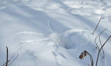 Imprint of a barred owl that plunged into the snow