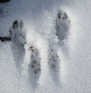 close up of squirrel tracks