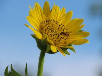 compass plant flower