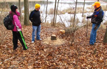 beaver felled tree 1