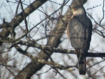 cooper's hawk winter