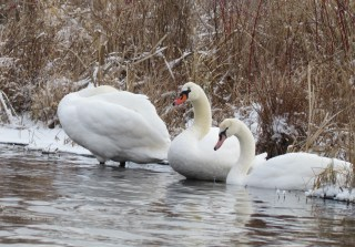 Mute Swans Huron River winter kayak